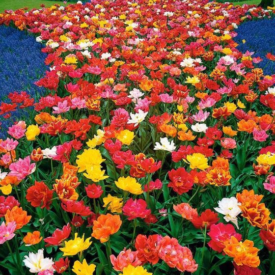 Tulpen frühblühende Murillo-Mischung, gefüllt | #4