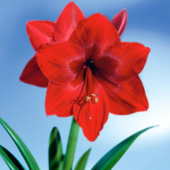 Amaryllis Wax, Touch of Snow Christmas-Red | #4