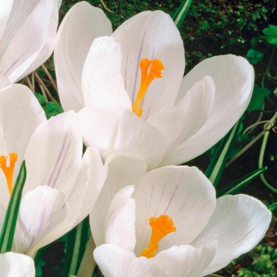 Gartenkrokus-Mischung Krokuswiese Blaue Symphonie | #4