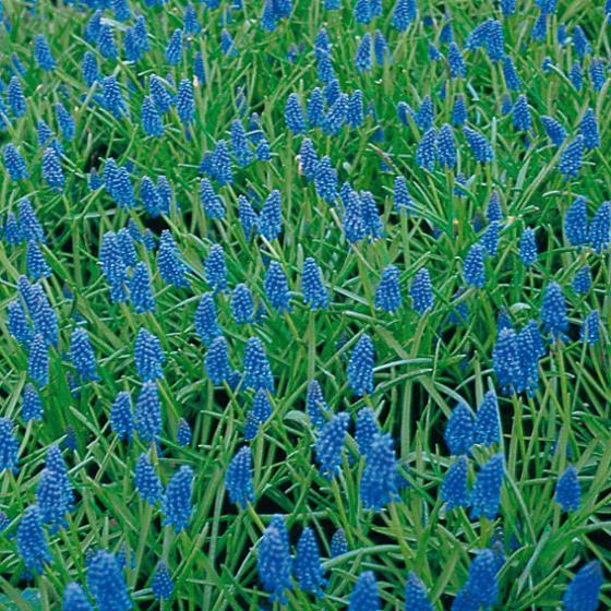 Traubenhyazinthe, blau | #4