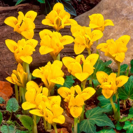 Vorfrühlings-Iris | #4