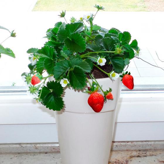 Erdbeerpflanze Fridulin Terralin, getopft | #4