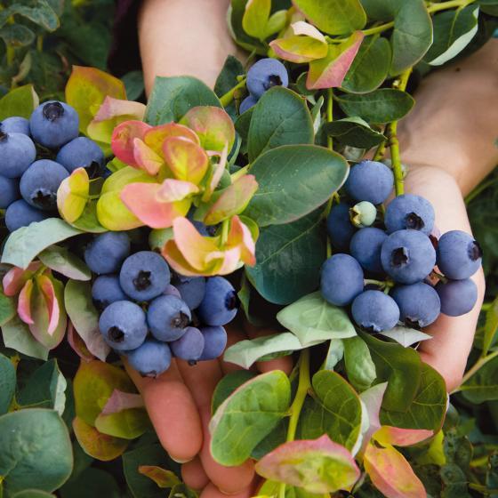Heidelbeere Brazel Berry® Peach Sorbet® | #4