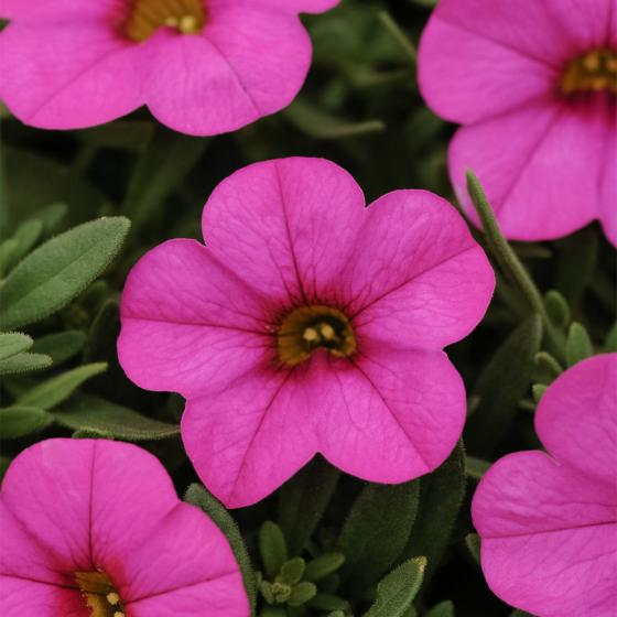 Calibrachoa-Petuniensamen Kabloom Deep Pink F1, Pillensaat | #4