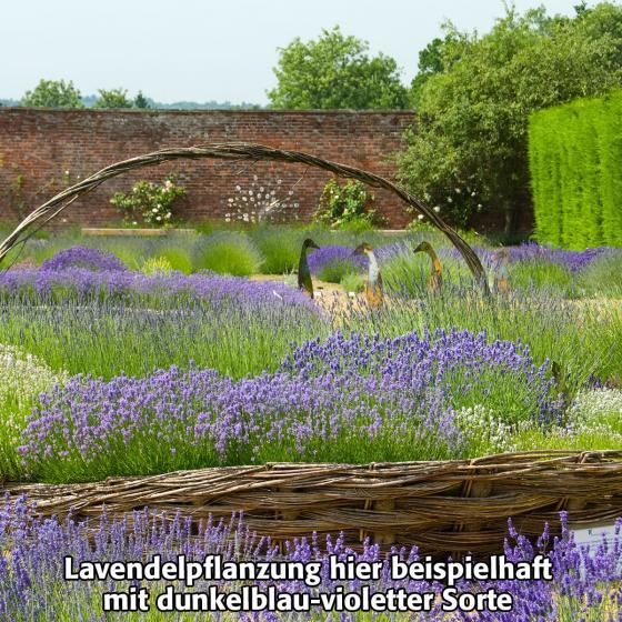 Englischer Lavendel Cedar Blue, im ca. 13 cm-Topf | #4