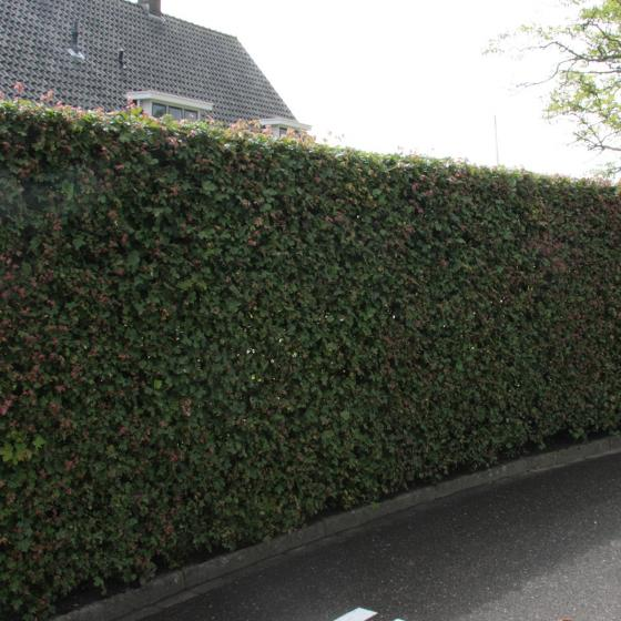 Feldahorn, im ca. 19 cm-Topf, Höhe ca. 80-100 cm | #4