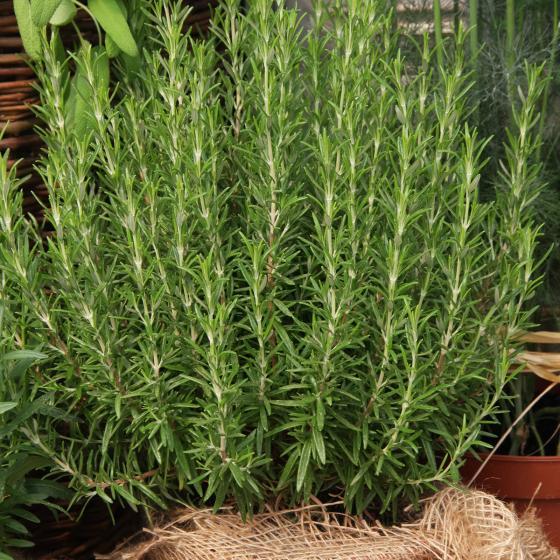 Blu Bio-Kräuterpflanze Rosmarin | #4