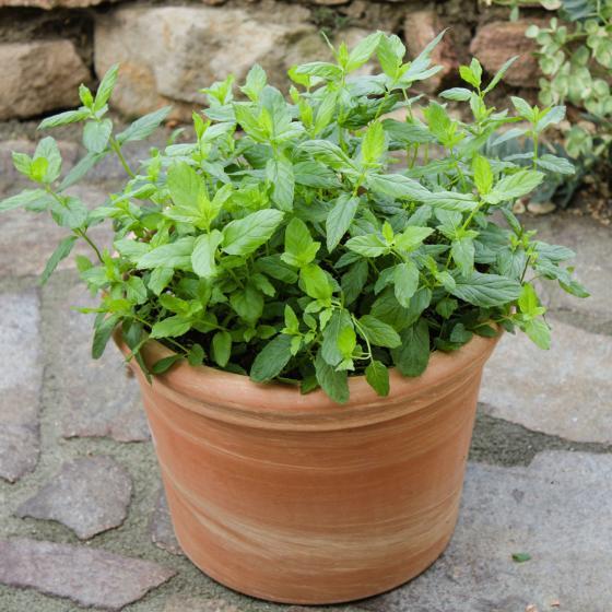 Blu Bio-Kräuterpflanze Marokkanische Minze | #4