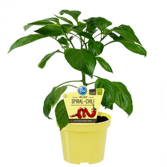 Paprikapflanze Milder Spiral Chili | #4