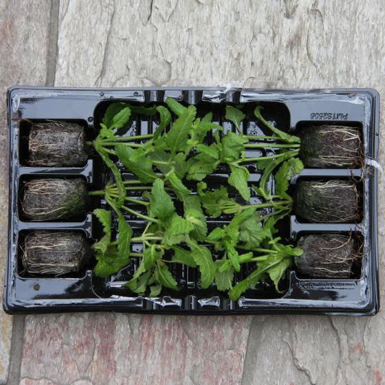 Mini-Jungpflanzen Calibrachoa-Petunien Carnival-Mischung | #4