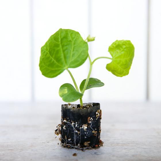 Mini-Jungpflanze Gurke Delistar | #4