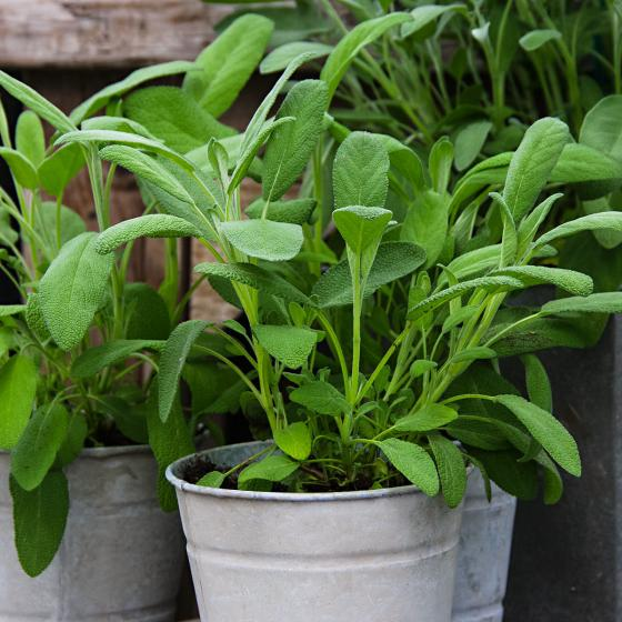 Kräuterpflanze Vital Salbei Evita, im ca. 12 cm-Topf | #4