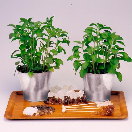 Kräuterpflanze Stevia Sweety, im ca. 12 cm-Topf | #4