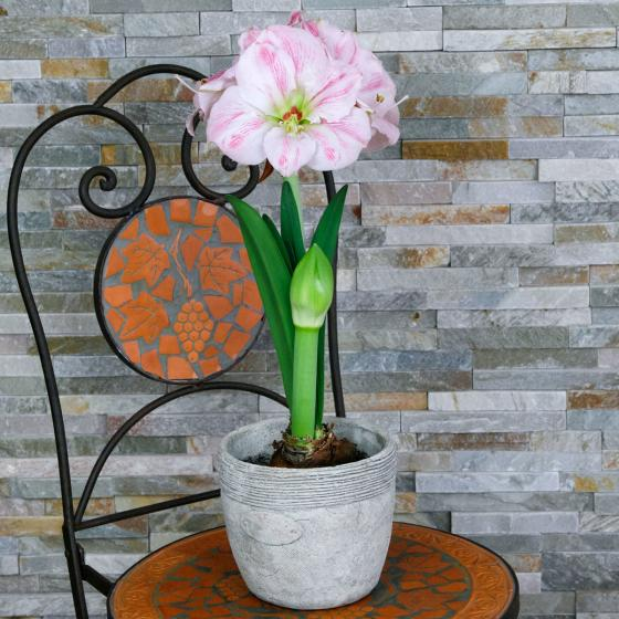 Amaryllis Cherry Bloss | #4