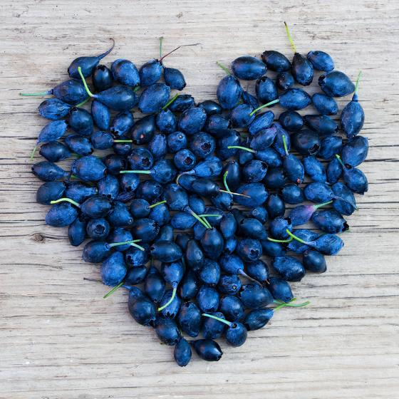 Vier-Monats Heidelbeere Lucky Berry® | #4