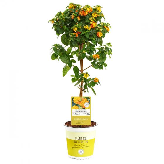 Wandelröschen-Stämmchen, orange | #4