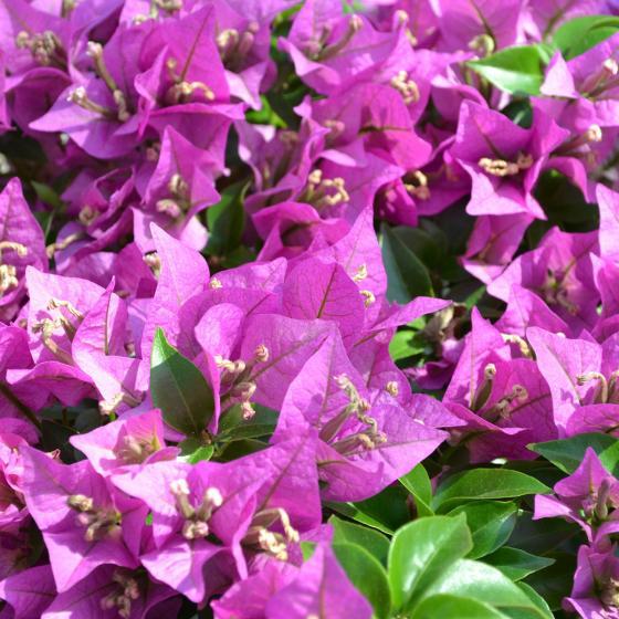 Wunderblumen-Stamm, im ca. 19 cm-Topf | #4