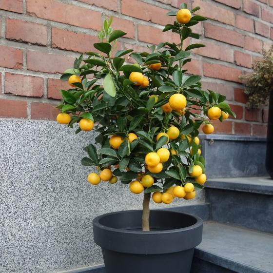 Calamondin-Orangen-Stamm, im ca. 18 cm-Topf | #4
