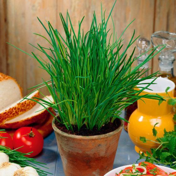 Kräuterpflanze Schnittlauch Staro, im ca. 12 cm-Topf   #4