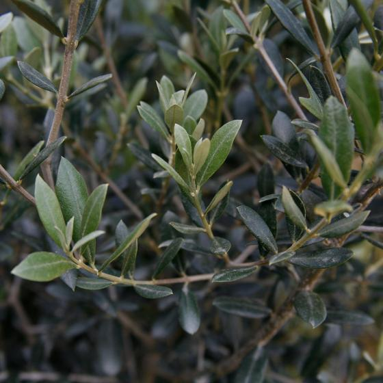 Oliven-Stamm, im ca. 18 cm-Topf | #4