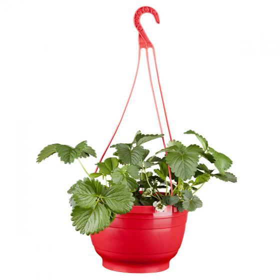 Erdbeer-Ampel, im ca. 27 cm-Ampeltopf | #4