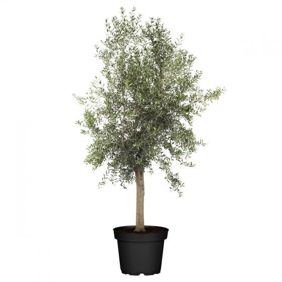 Oliven-Baum XXL, im ca. 55 cm-Topf | #4