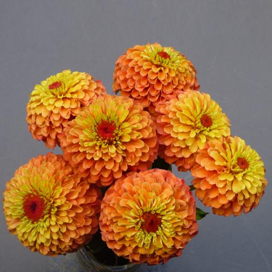 Zinniensamen Queeny Lime Orange | #4