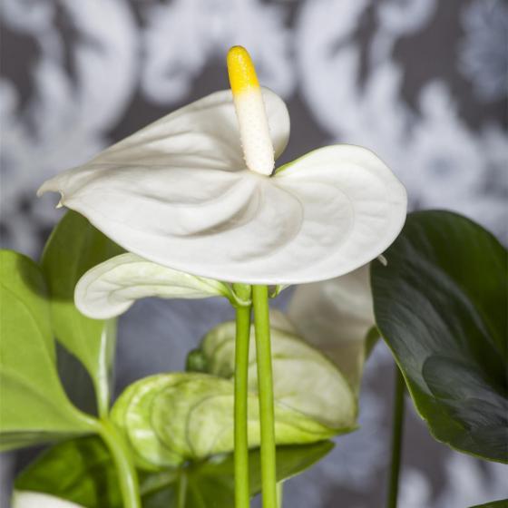 Weiße Flamingoblume, im ca. 12 cm-Topf | #4