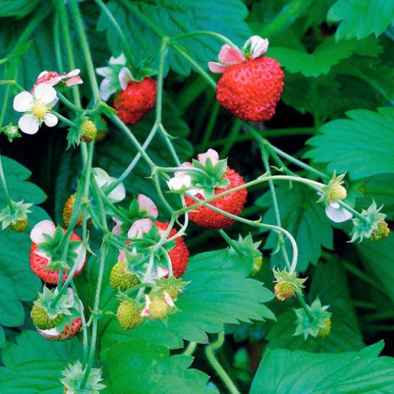 Wald-Erdbeerensamen Mignonette | #4