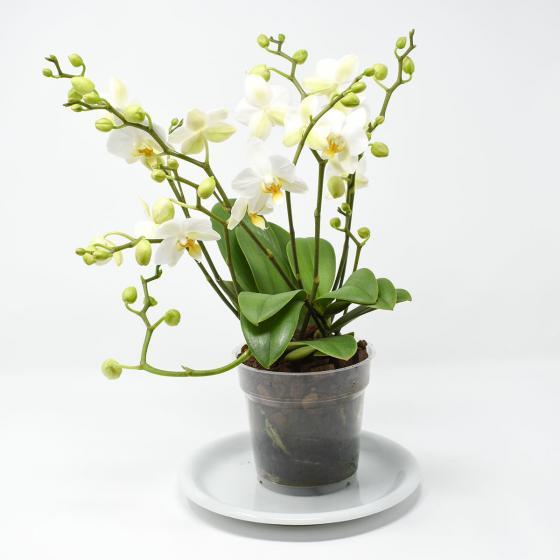 Schmetterlings-Orchidee Lausanne, ungestäbt | #4