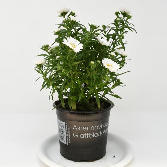 Herbstaster, weiß, im ca. 13 cm-Topf | #4
