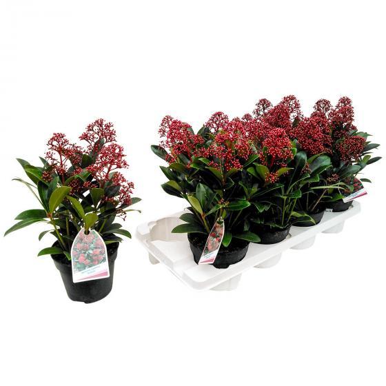 Japanische Blütenskimmie Rubella, im ca. 13 cm-Topf | #4