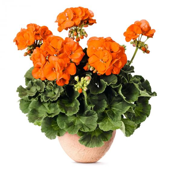 Orange Geranie Guido, im ca. 12 cm-Topf | #4