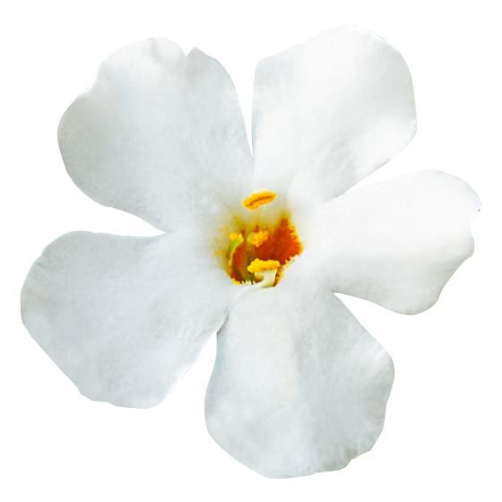 Weiße Schneeflockenblume | #4
