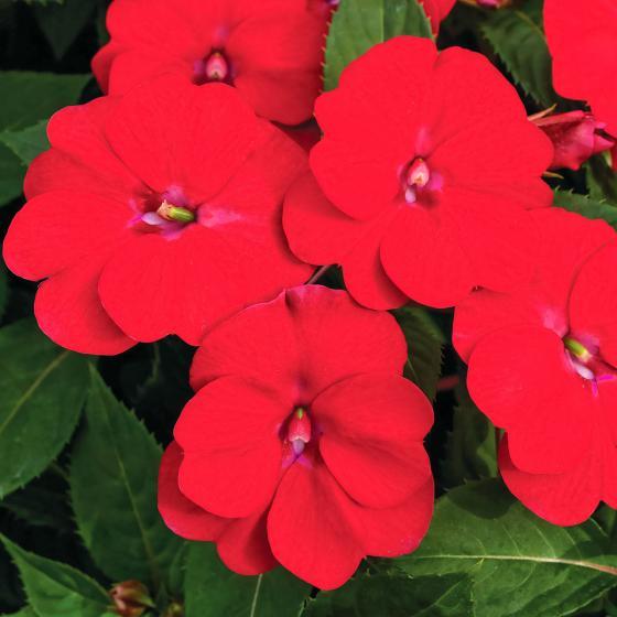 Fleißiges-Lieschen Sunpation Red   #4