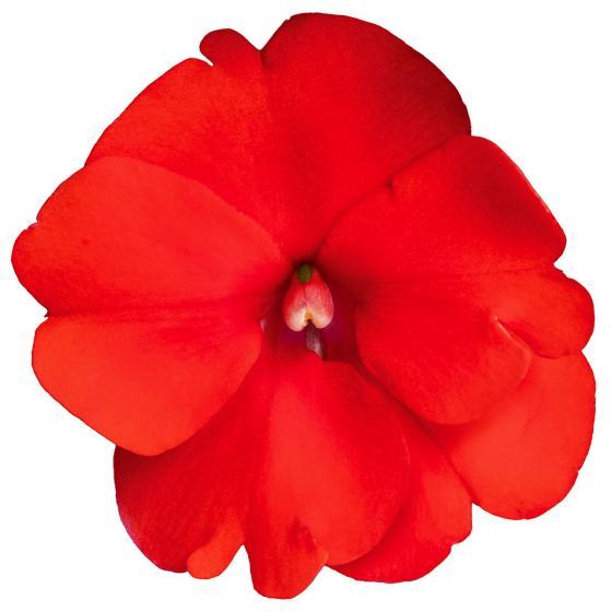 Fleißiges-Lieschen Sunpation Red, im ca. 12 cm-Topf | #4