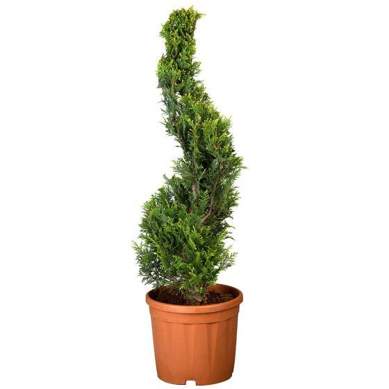 Baumzypresse, im ca. 28 cm-Topf | #4