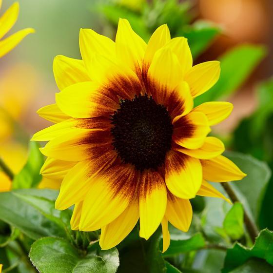 Premium Sonnenblume SunBelievable™ XL, im 17cm-Topf | #4