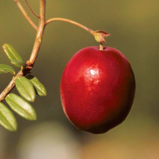 Blu Bio Cranberry | #4