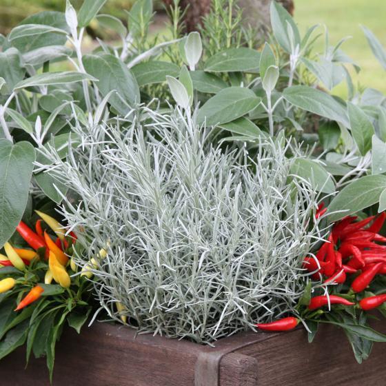 BIO Kräuterpflanze Currykraut, im ca. 12 cm-Topf | #4