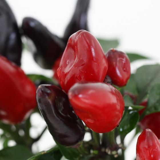 Blu Bio-Gemüsepflanze Chili Feuerküsschen | #4