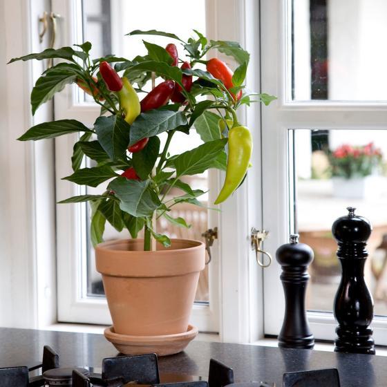 Blu Bio-Gemüsepflanze Snack Chili | #4
