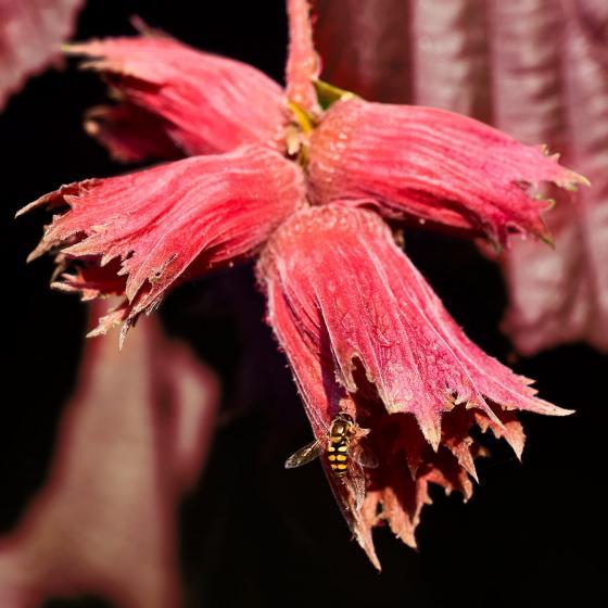 Haselnuss Rote Zellernuss, im ca. 23 cm-Topf | #4