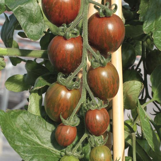 BIO Gemüsepflanze Tomate Balkonia, im ca. 12 cm-Topf | #4