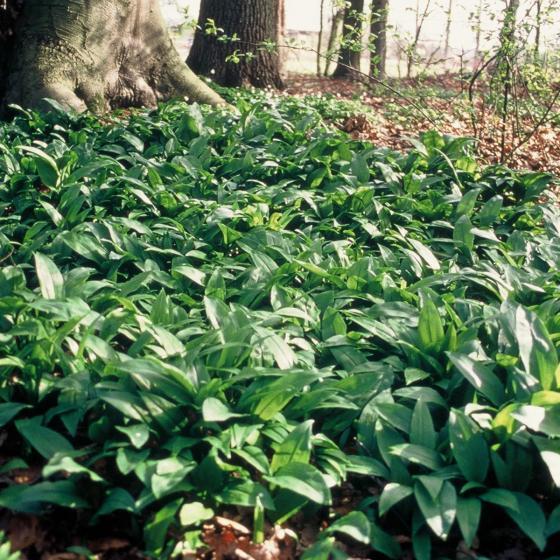 Kräuterpflanze Bärlauch Gismo, im ca. 12 cm-Topf | #4