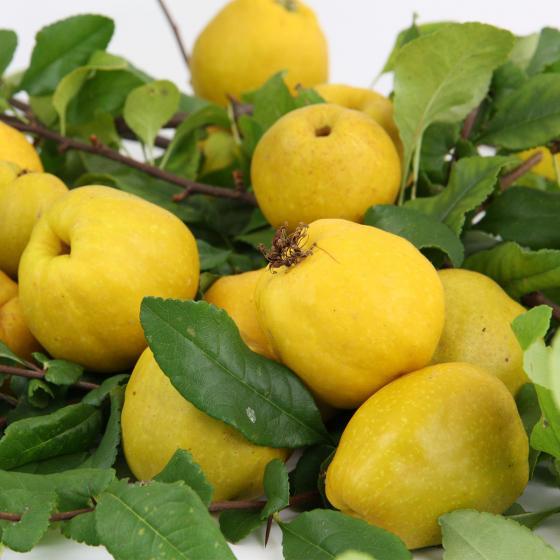 BIO Zitruspflanze Nordische Zitrone, im ca. 12 cm-Topf | #4