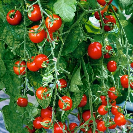 Tomatensamen Gardeners Delight | #4