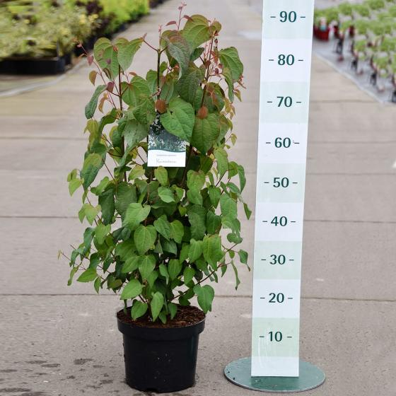 Lebkuchenbaum, im ca. 25 cm-Topf | #4
