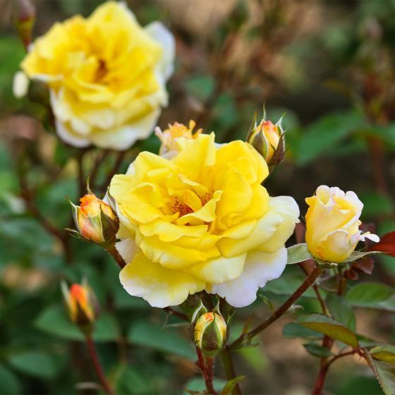 Essbare Culinaric Rose, gold-gelb, im ca. 22 cm-Topf | #4