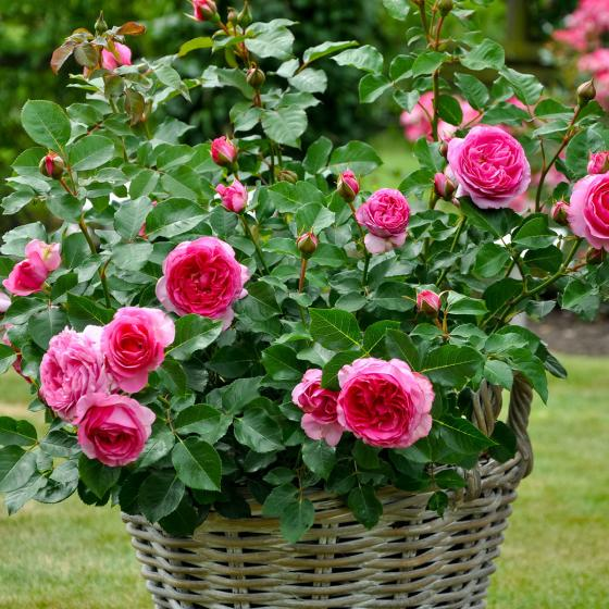 Essbare Culinaric Rose, pink, im ca. 22 cm-Topf | #4